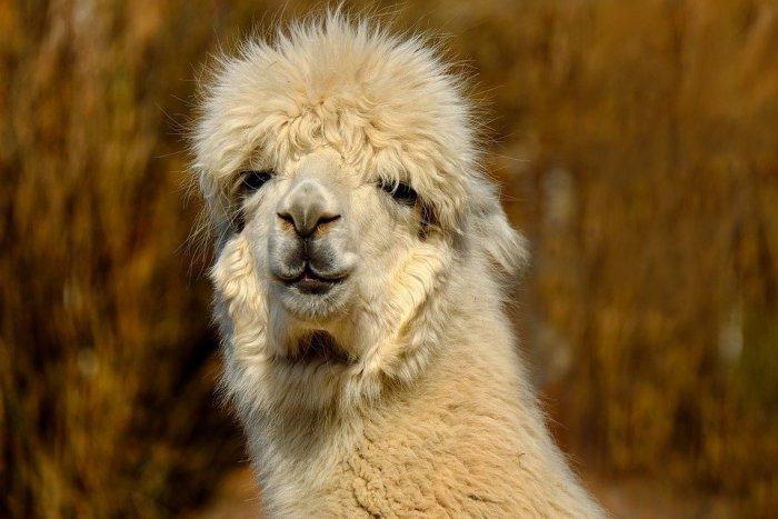 ペルーの人気者のアルパカ